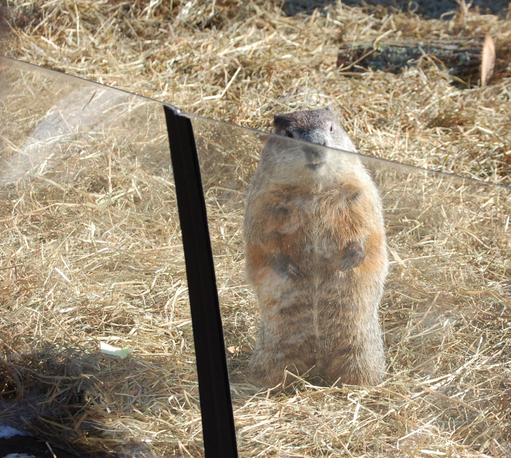 The groundhog at Groundhog Day festivities at Massachusetts Audubon's Drumlin Farm in Lincoln, Mass., Feb. 2, 2017. (Kari Percival)