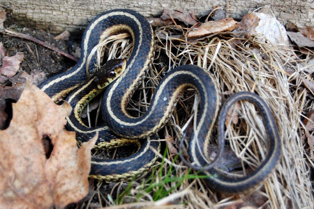 Garter snake in Malden, Mass., April 2, 2017. (Greg Cook)