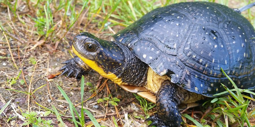 Blanding's turtle. (Courtesy Zoo New England)