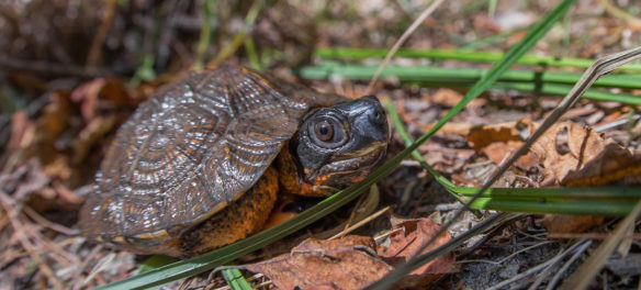 Mark Lotterhand photo of wood turtle, Oct. 12, 2017. (Courtesy of Lotterhand)