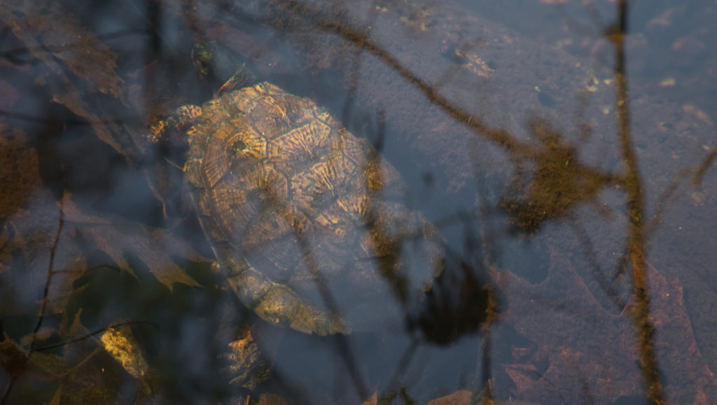 Mark Lotterhand photo of wood turtle, Dec. 29, 2017. (Courtesy of Lotterhand)