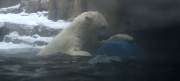 Polar bear at Lincoln Park Zoo, Chicago, Dec. 29, 2017. (Greg Cook)