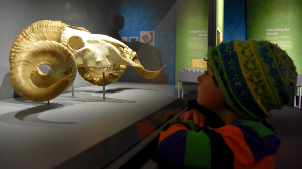 """A bighorn sheep skull at the Boston Museum of Science exhibit """"A Mirror Maze."""" (Greg Cook)"""