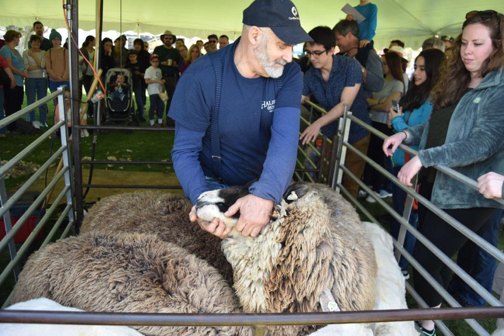 Sheepshearing Festival at Gore Place, Waltham, April 28, 2018. (Greg Cook)