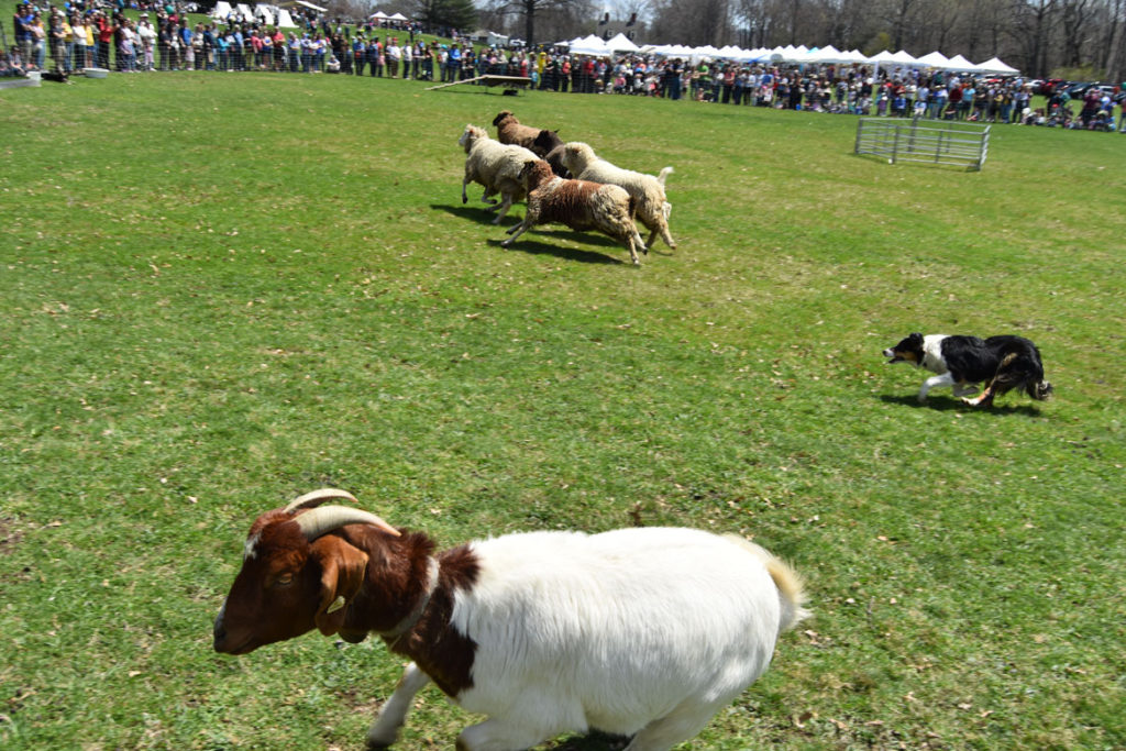 Border collies herd sheep and goats at the Sheepshearing Festival at Gore Place, Waltham, April 28, 2018. (Greg Cook)
