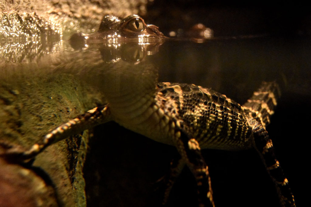 "A young American alligator in ""Crocs"" at Boston's Museum of Science. (Greg Cook)"