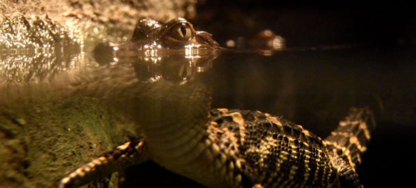 """A young American alligator in """"Crocs"""" at Boston's Museum of Science. (Greg Cook)"""