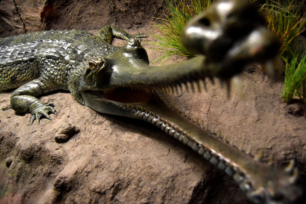 "Model of an Indian gharial in ""Crocs"" at Boston's Museum of Science. (Greg Cook)"