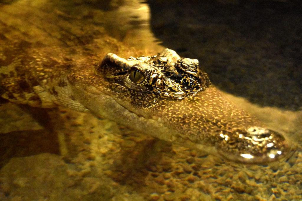 "Siamese crocodile in ""Crocs"" at Boston's Museum of Science. (Greg Cook)"