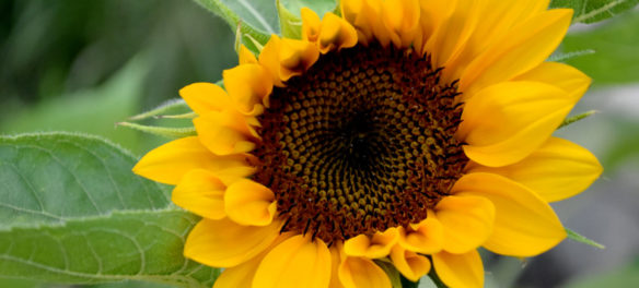 "Ekua Holmes's ""Roxbury Sunflower Project"" at Freedom House, Aug. 30, 2018. (Greg Cook)"