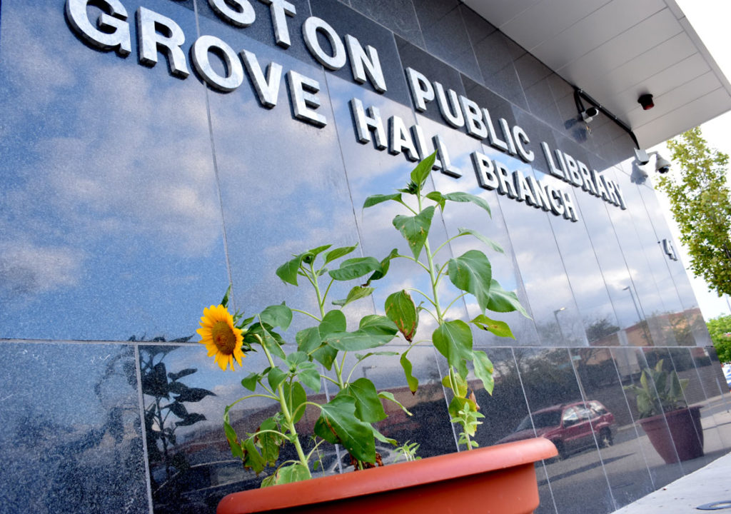 "Ekua Holmes's ""Roxbury Sunflower Project"" at the Grove Hall Branch of the Boston Public Library, Aug. 30, 2018. (Greg Cook)"