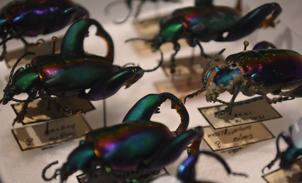 "Frog leg beetles in the ""The Rockefeller Beetles"" exhibition at Harvard's Museum of Natural History in Cambridge. (Greg Cook)"