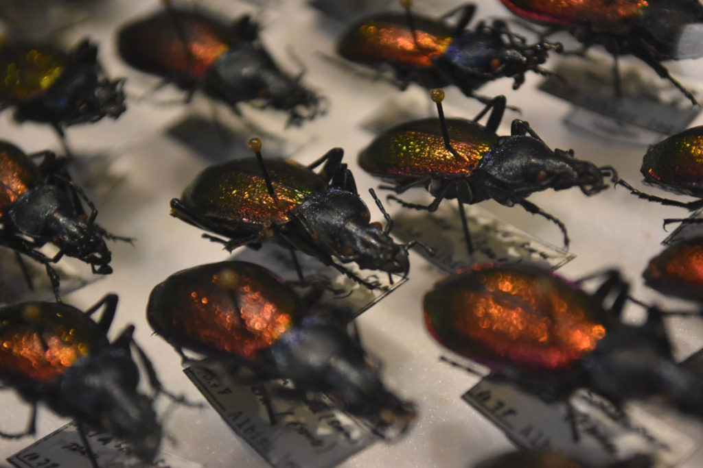 "Ground beetles in the ""The Rockefeller Beetles"" exhibition at Harvard's Museum of Natural History in Cambridge. (Greg Cook)"
