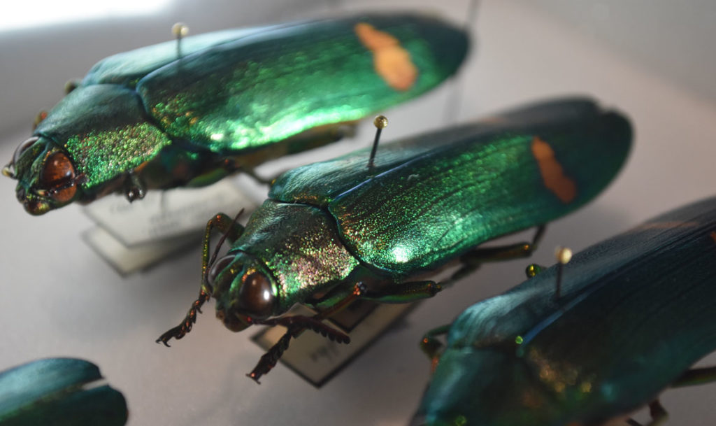 "Jewel beetles in the ""The Rockefeller Beetles"" exhibition at Harvard's Museum of Natural History in Cambridge. (Greg Cook)"