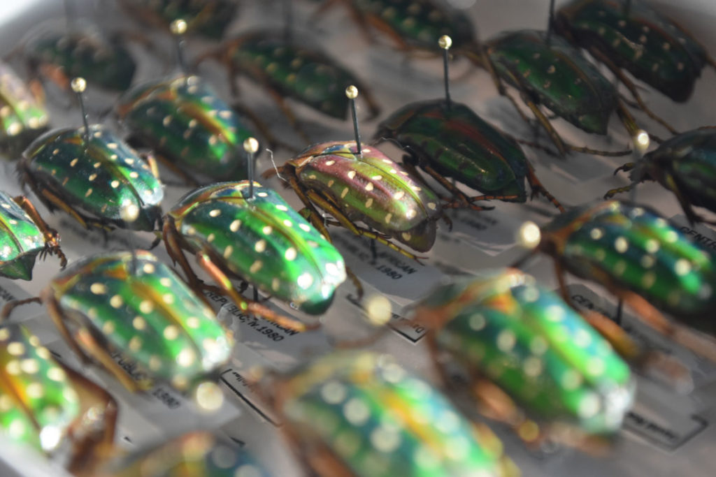 "Scarab beetles in the ""The Rockefeller Beetles"" exhibition at Harvard's Museum of Natural History in Cambridge. (Greg Cook)"
