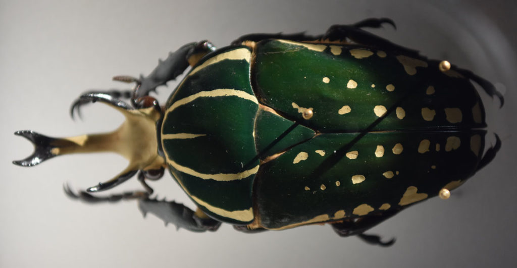 "A scarab beetle in the ""The Rockefeller Beetles"" exhibition at Harvard's Museum of Natural History in Cambridge. (Greg Cook)"
