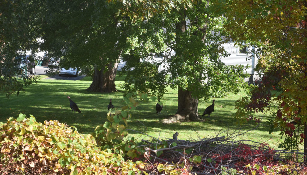 Turkeys along the Northern Strand Bike Trail in Saugus, just west of Lincoln Ave. in Lynn, Massachusetts. Oct. 10, 2018. (Greg Cook)