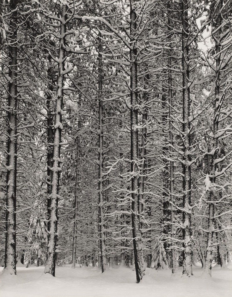 """Ansel Adams, """"Pine Forest in Snow, Yosemite National Park,"""" about 1932, photograph, gelatin silver print. (Courtesy, Museum of Fine Arts, Boston)"""
