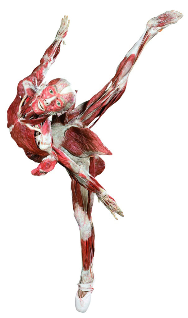 """Ballerina"" from ""Body Worlds. (Courtesy Museum of Science, Boston)"