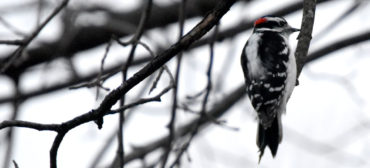 Woodpecker, March 12, 2019. (Greg Cook)
