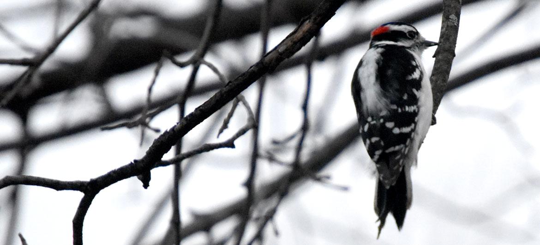 Woodpecker, March 12, 2019. (Greg Cook)
