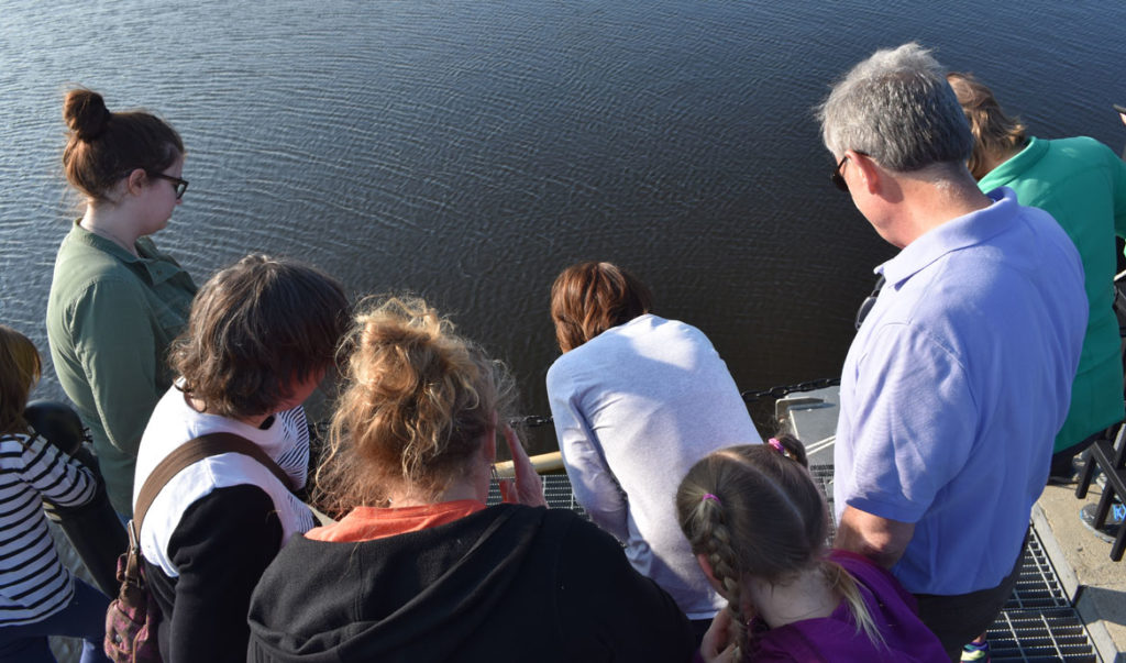 Watching herring swim up the fish ladder at the Upper Mystic Lake Dam in Medford as part of the fish's annual upstream migration, May 22, 2019. (Greg Cook)