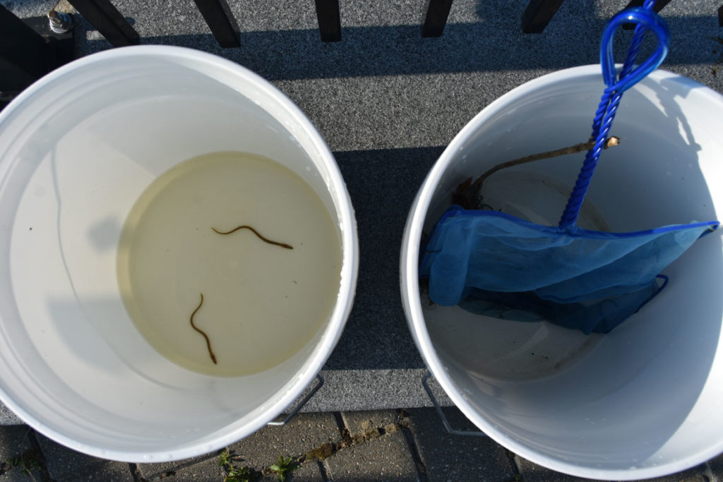American eel caught at the Upper Mystic Lake Dam in Medford, May 22, 2019. (Greg Cook)