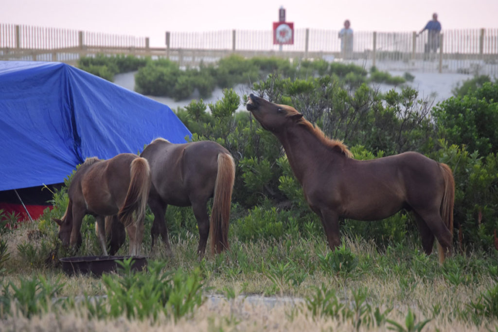 Feral horses roam campgrounds at Assateague State Park, a barrier beach in Maryland, June 18, 2019. (Greg Cook)