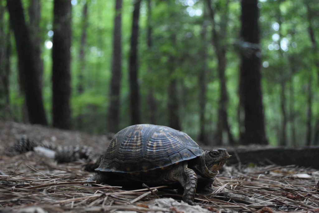 Eastern box turtle at Merchants Millpond State Park, Gatesville, North Carolina, June 18, 2019. (Greg Cook)