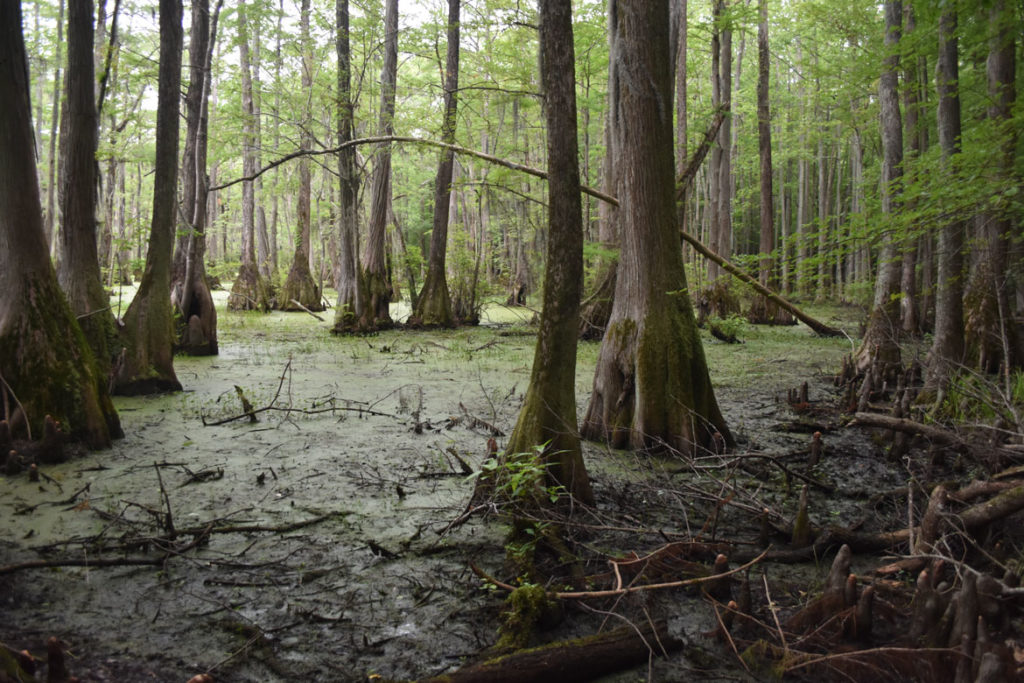 Cypress swamp at Merchants Millpond State Park, Gatesville, North Carolina, June 18, 2019. (Greg Cook)