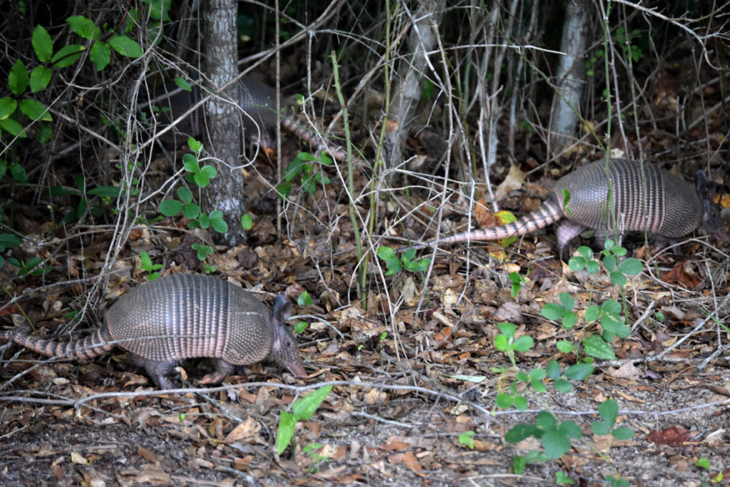 Armadillos at Pasaquan, created by St. EOM (Eddie Owens Martin), at Buena Vista, Georgia. June 23, 2019. (Greg Cook)