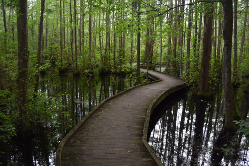 Cypress swamp at Woods Bay State Park at Olanta, South Carolina, June 20, 2019. (Greg Cook)