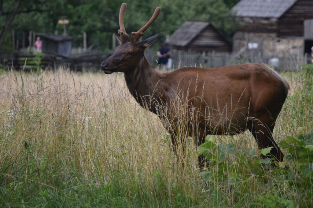 Elk in Great Smoky Mountains National Park at Oconaluftee Visitor Center, North Carolina, June 26, 2019. (Greg Cook)
