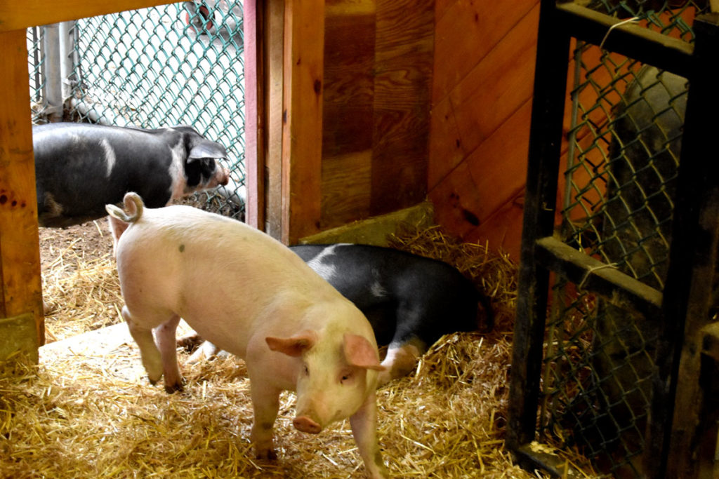 Pig Barn at Topsfield Fair, Oct. 6, 2019. (Greg Cook photo)