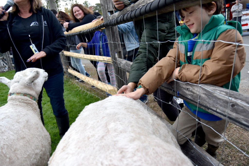 Petting sheep from New England Equine Rescue at the Topsfield Fair, Oct. 6, 2019. (Greg Cook photo)