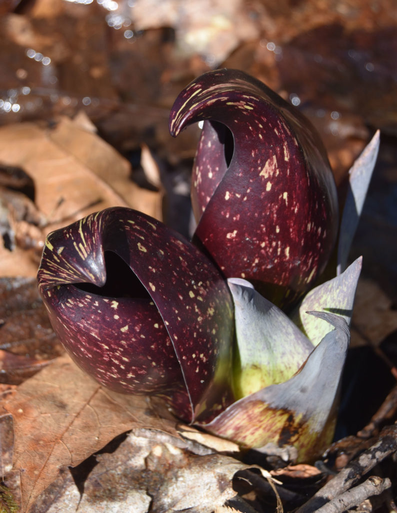 Skunk cabbage sprouts beside a creek at Mount Misery in Lincoln, Massachusetts, March 26, 2020. (Greg Cook photo)