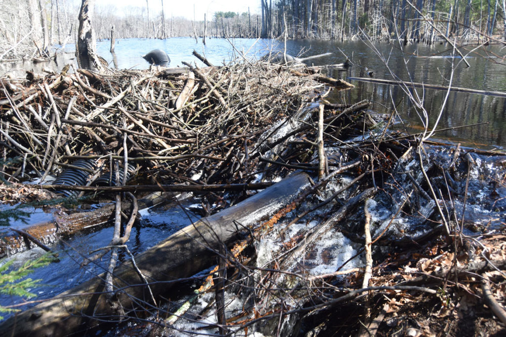 Beaver dam at Mount Misery in Lincoln, Massachusetts, March 26, 2020. (Greg Cook photo)
