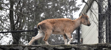 Markhor at Stone Zoo in Stoneham, March 20, 2020. (Greg Cook photo)