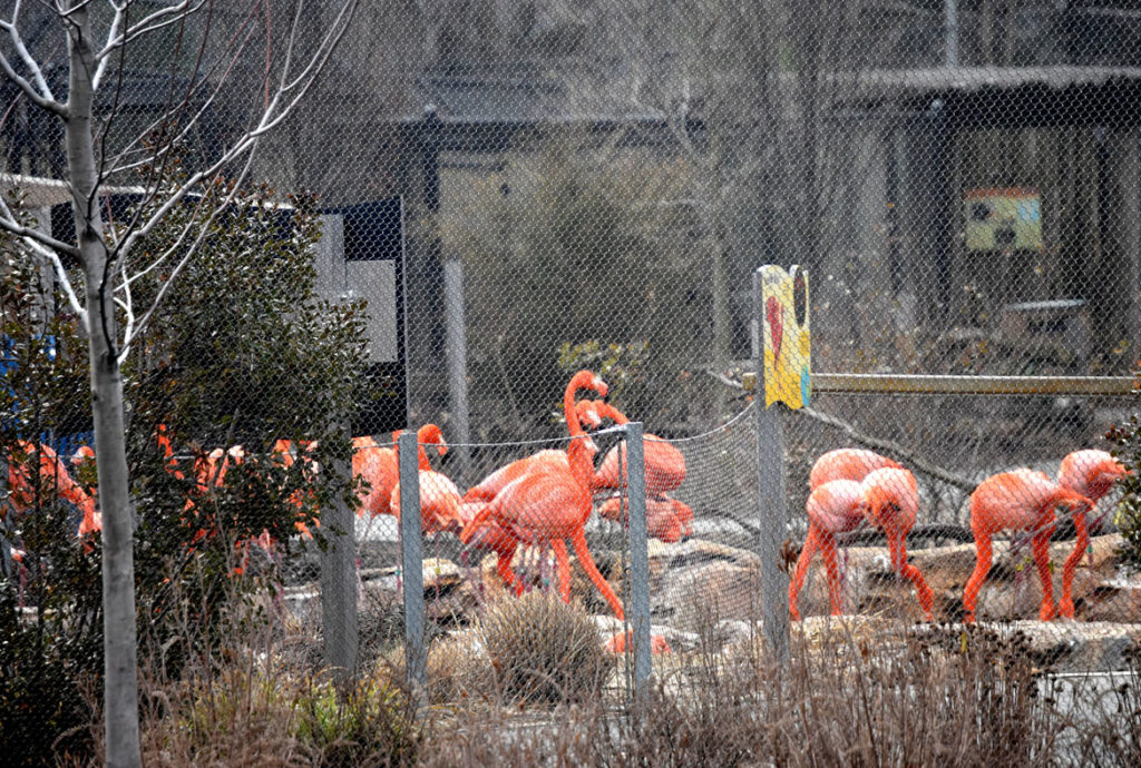 Flamingos at Stone Zoo in Stoneham, March 20, 2020. (Greg Cook photo)