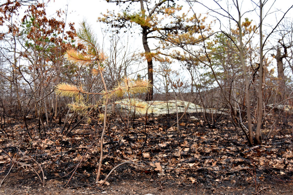 Scorched trees at Pine Banks Park in Melrose and Malden, April 20, 2020. (Greg Cook photo)