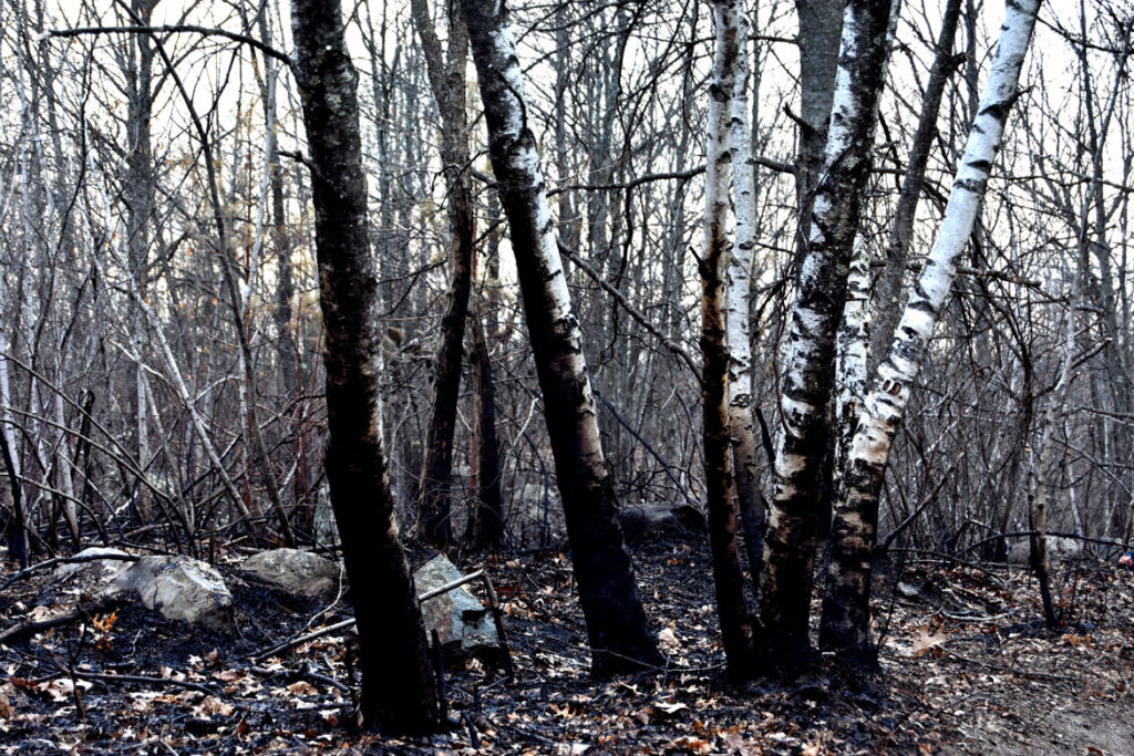 Scorched birches at Pine Banks Park in Melrose and Malden, April 20, 2020. (Greg Cook photo)
