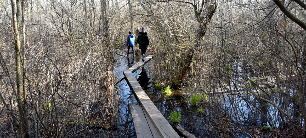 Beginning of the Ponakpog boardwalk at the Blue Hills Reservation in Milton, Massachusetts, April 22, 2020. (Greg Cook photo)