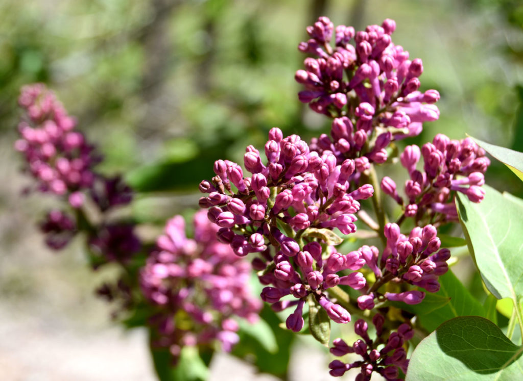 Lilacs at Arnold Arboretum, Boston, May 5, 2020. (Greg Cook photo)