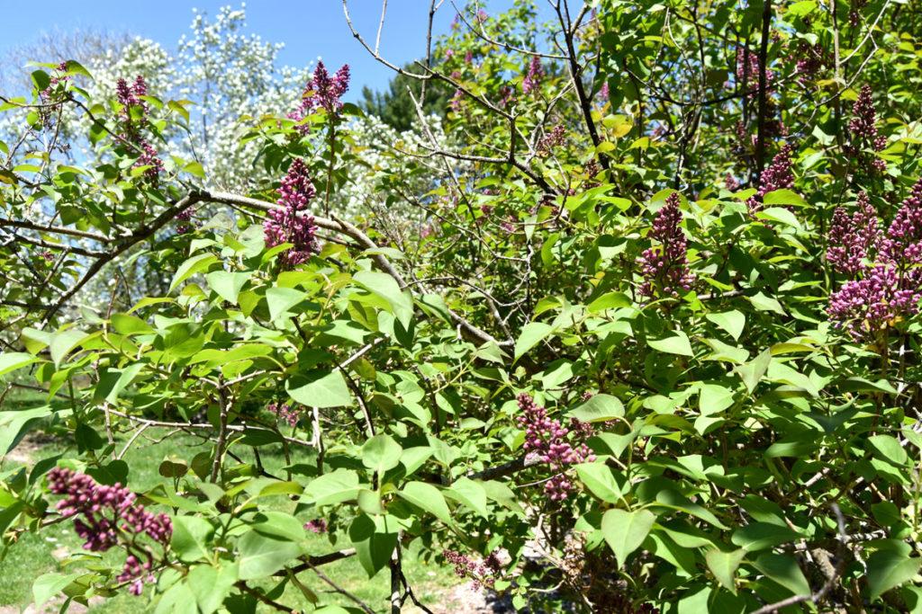 Lilacs at Arnold Arboretum, Boston, May 5, 2020. (Greg Cook photo)