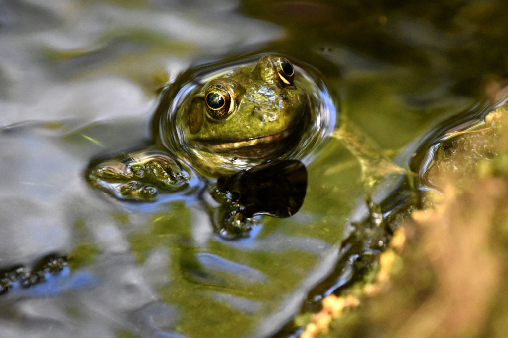 Frog in Little Purgatory brook at Purgatory Chasm, Sutton, Massachusetts, May 26, 2020. (Greg Cook photo)