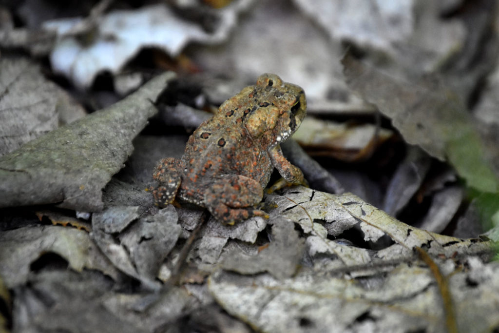 Toad along Little Purgatory trail at Purgatory Chasm, Sutton, Massachusetts, May 26, 2020. (Greg Cook photo)