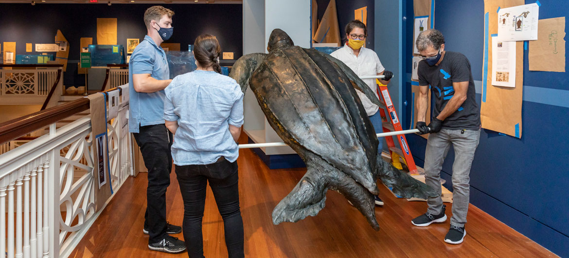 Leatherback turtle being reinstalled at Salem's Peabody Essex Museum, 2020. (Photo: Kathy Tarantola)