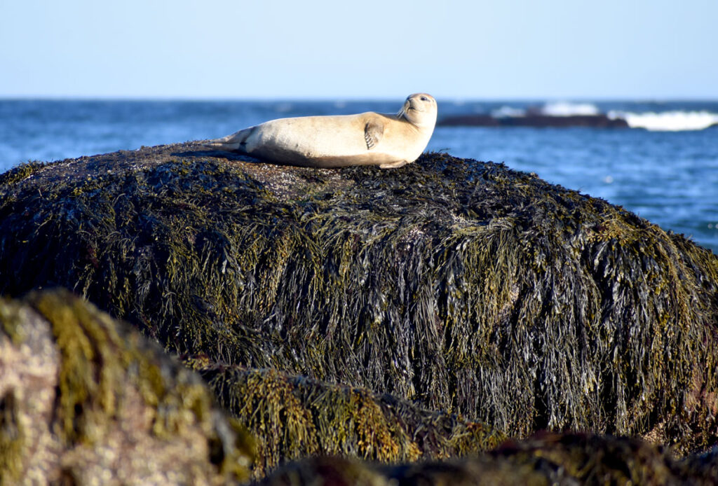 Seal hauled out at Gloucester, March 30, 2021. (©Greg Cook photo)
