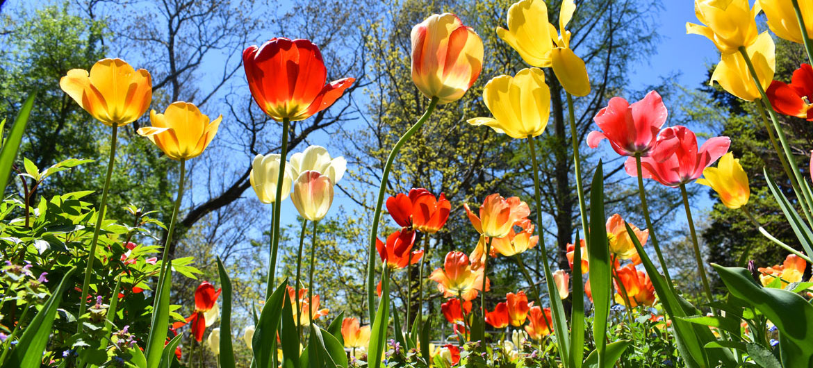 Tulips blooming at Long Hill, the estate operated by the Trustees of Reservations in Beverly, May 7, 2021. (©Greg Cook photo)