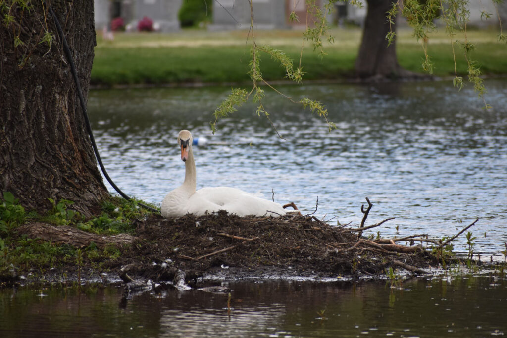Swan nesting at Forest Dale Cemetery, Malden, May 14, 2021. (©Greg Cook photo)